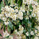 Flowering Gum Tree by LifeisDelicious