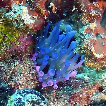 Giant Purple Sea Anemone by Scubagirlamy