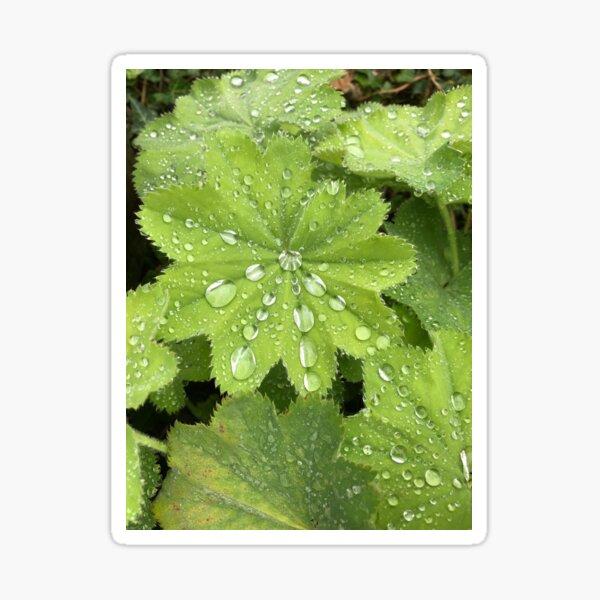 Raindrops On Alchemilla Mollis Sticker