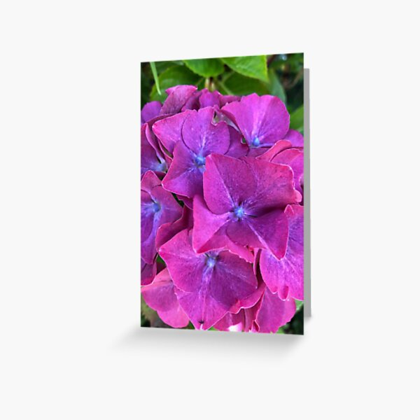Pink and Purple Hydrangea Greeting Card