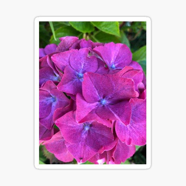 Pink and Purple Hydrangea Sticker