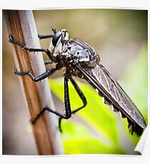 Predatory Giant Robber Fly, Poster