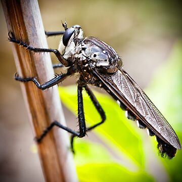 Predatory Giant Robber Fly, by AmyesPhotograph