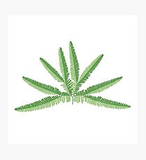 Sticherus - Forked Fern Photographic Print