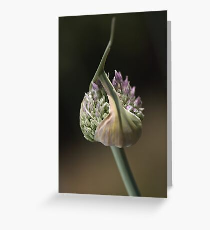 flower-garlic-bud Greeting Card