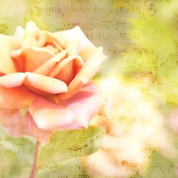Song of Spring Lovely Pale Orange Rose Music by beverlyclaire