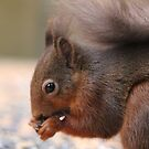 Red Squirrel  by kaotic-shell