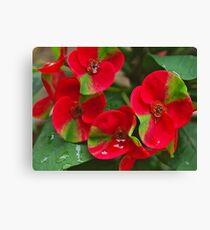 Euphorbia milii (green-red) Leinwanddruck