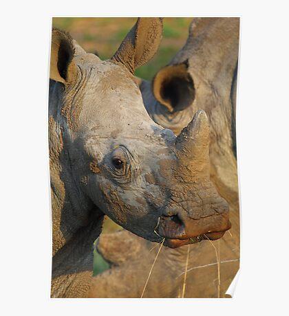 Young white rhino Poster