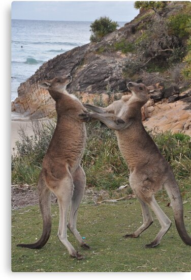 Boxing kangaroos on the beach by mappy1