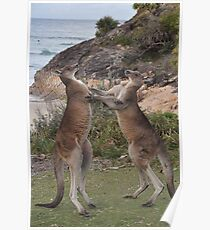 Boxing kangaroos on the beach Poster
