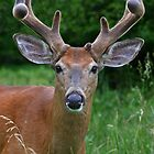 Big Antler Buck - White-tailed deer by Jim Cumming