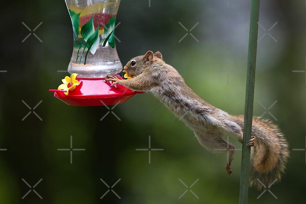 Feet don't fail me now! Red Squirrel by Jim Cumming