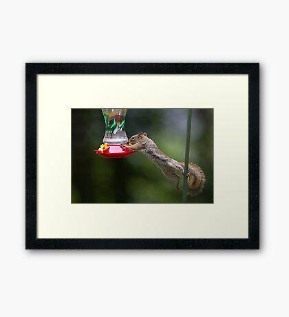 Feet don't fail me now! Red Squirrel Framed Print
