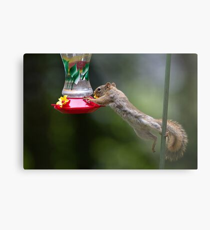 Feet don't fail me now! Red Squirrel Metal Print