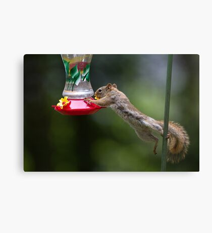 Feet don't fail me now! Red Squirrel Canvas Print