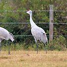 More Sand Hill Cranes by SuddenJim