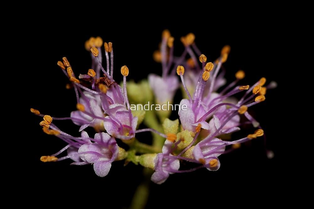Callicarpa pedunculata  by andrachne