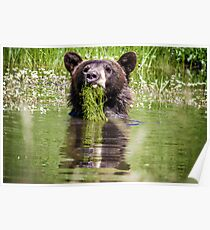 Bear in a pond Poster