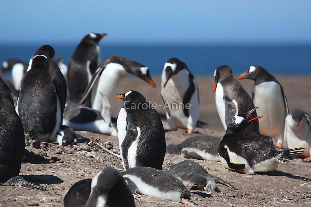 Gentoo Penguins Rookery by Carole-Anne