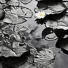 Water Lilies by Mark Poulton
