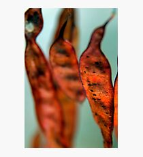 Bean pods Photographic Print