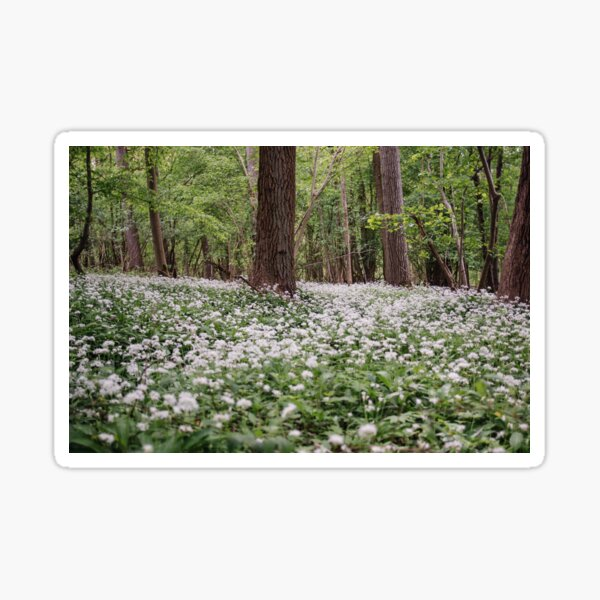 Ramsons White Flower Forest Sticker
