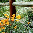 California Poppys by SueAnne