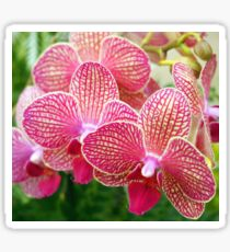 Pink and White Orchids Sticker