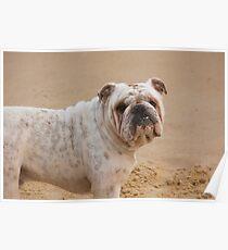 British Bulldog - Beachcomber Series Poster