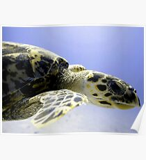 Hawksbill Caribbean Sea Turtle Close Up Poster