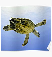 Caribbean Hawksbill Sea Turtle at Play Poster
