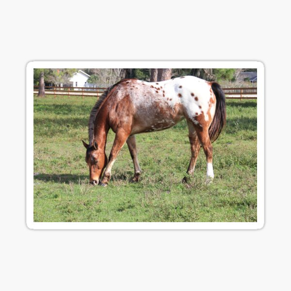 Appaloosa Horse Sticker