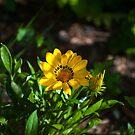 Dainty daisy by Kim Austin