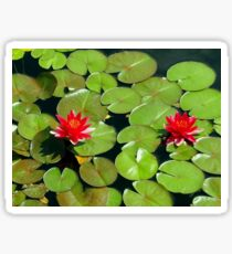 Floating pair of Red Water Lilly Flowers on Pond Sticker
