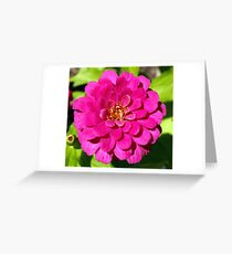 Macro Pink Fuschia Zinnia Flower in the Garden Greeting Card