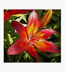 Glowing Fiery Red Lilly in the Garden Photographic Print