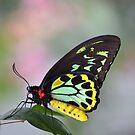 Cairns Birdwing Butterfly by Glenda Williams