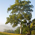 Remnant Eucalyptus - Guys Hill , Victoria, Australia. by johnrf