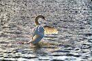 Mute Swan  by Nigel Bangert
