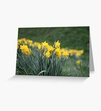 Daffodil Backs Greeting Card