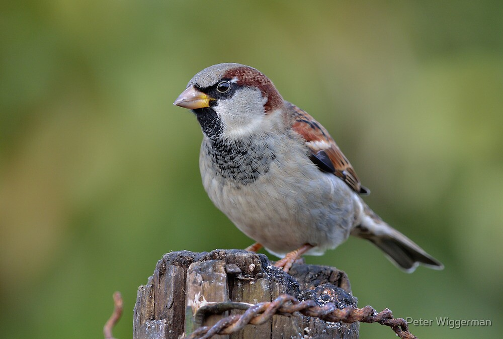 House sparrow - male by Peter Wiggerman