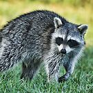 Raccoon Buddy by Deborah  Benoit