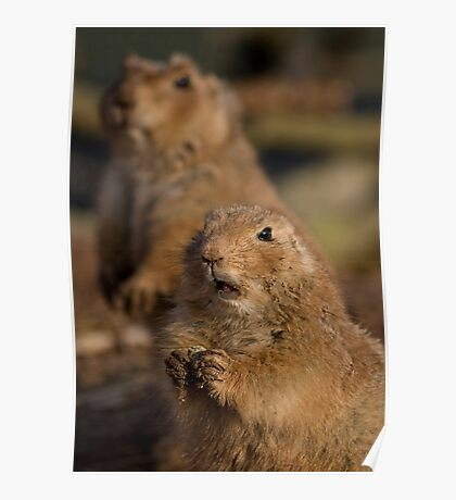 Black-Tailed Prairie Dogs Poster