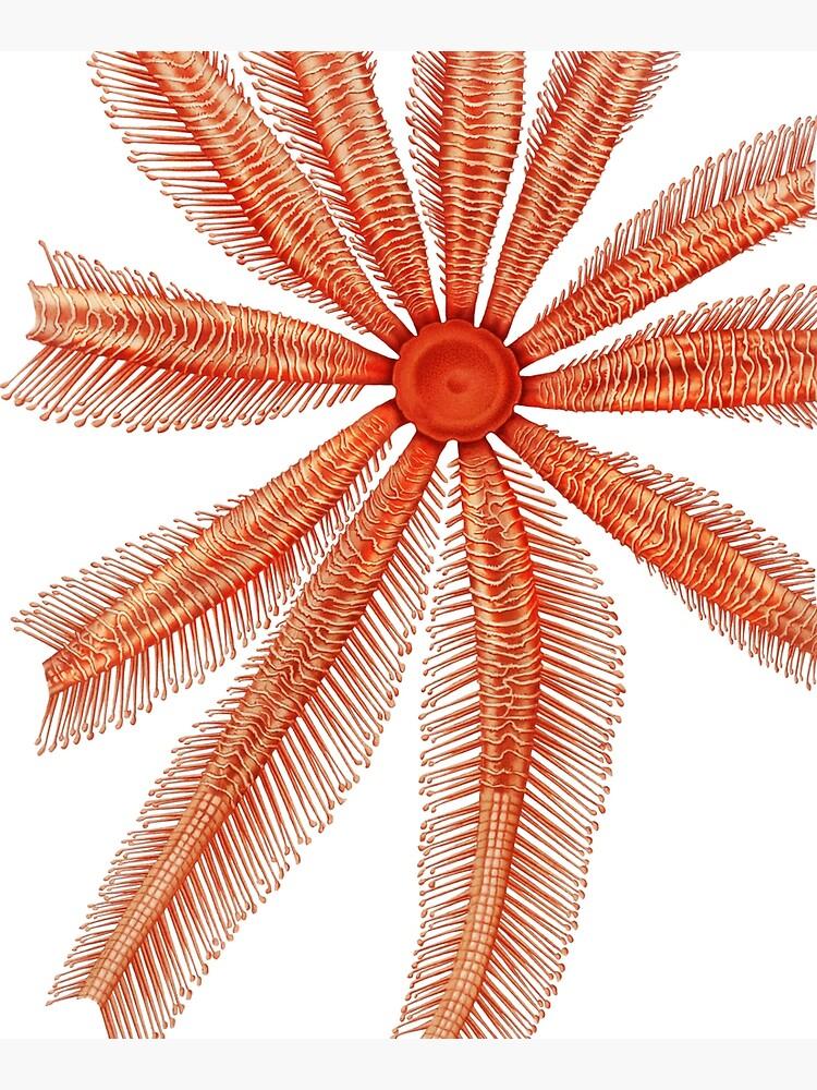 Marine Life- Brisingidae starfish illustration by webcaff-design