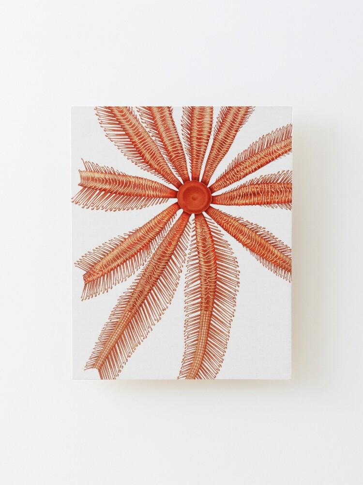 Alternate view of Marine Life- Brisingidae starfish illustration Mounted Print