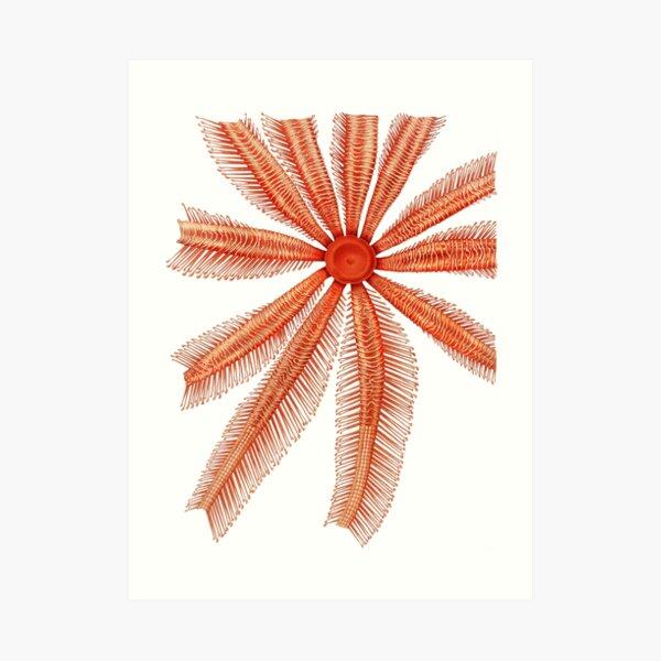 Marine Life- Brisingidae starfish illustration Art Print