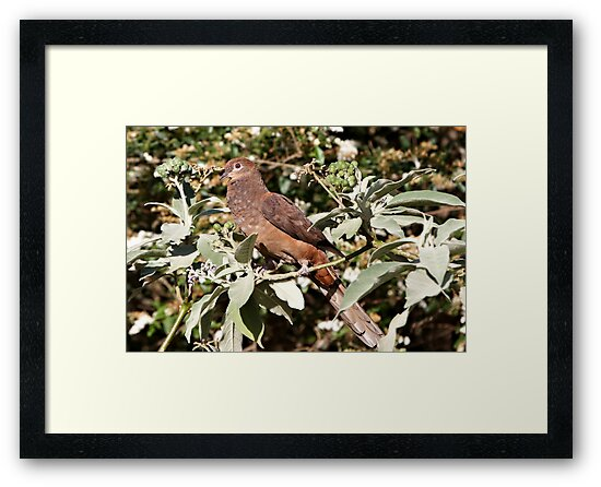 Brown Cuckoo-dove by Robert Elliott