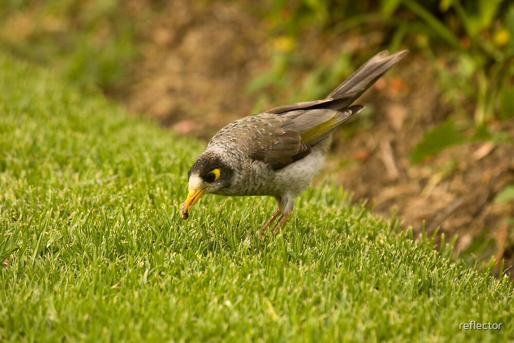A Bird And Its Prey - Noisy Miner Bird by reflector