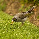 A Bird And Its Prey - Noisy Miner Bird by reflector